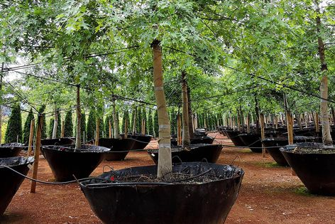 In addition to supplying containerized trees from its three nurseries, ETT also provides transplanting and contract growing services.